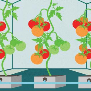 Stylized illustration of tomatoes in a greenhouse being fed via hydroponics. © 2020 The Ohio State University.