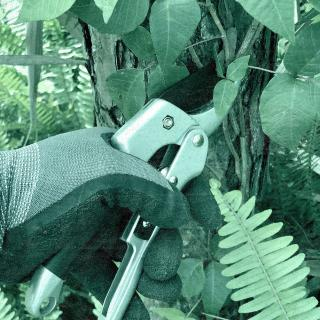 Gloved hand clipping poison ivy. © 2020 The Ohio State University.
